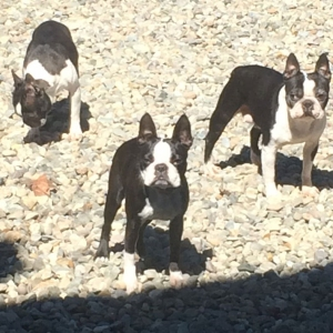 Margrave-Boston-Terriers